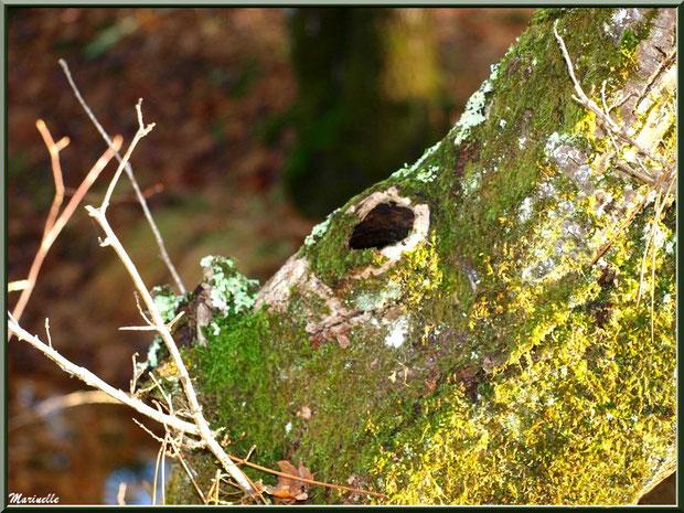Tronc d'arbre moussu et troué, forêt sur le Bassin d'Arcachon (33)