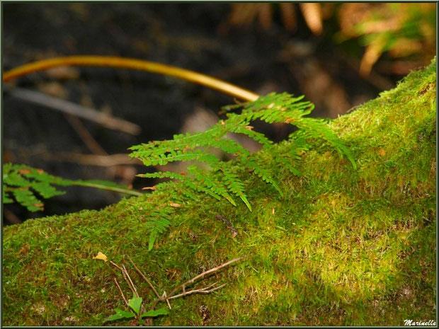 Fougère sur tronc moussu en forêt sur le Bassin d'Arcachon (33