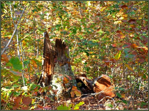 Méli mélo forestier : tronc d'arbre mort et végétation automnale, en forêt sur le Bassin d'Arcachon (33)