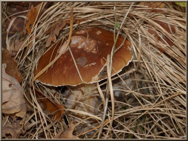Cèpe de Bordeaux ou Bolet, bien caché, en forêt sur le Bassin d'Arcachon