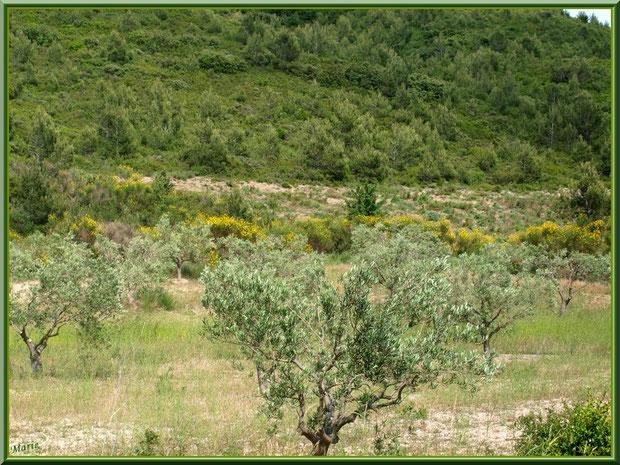 Oliveraie et ajoncs en fleurs aux pieds des Alpilles sur la route menant à Aureille, Bouche du Rhône