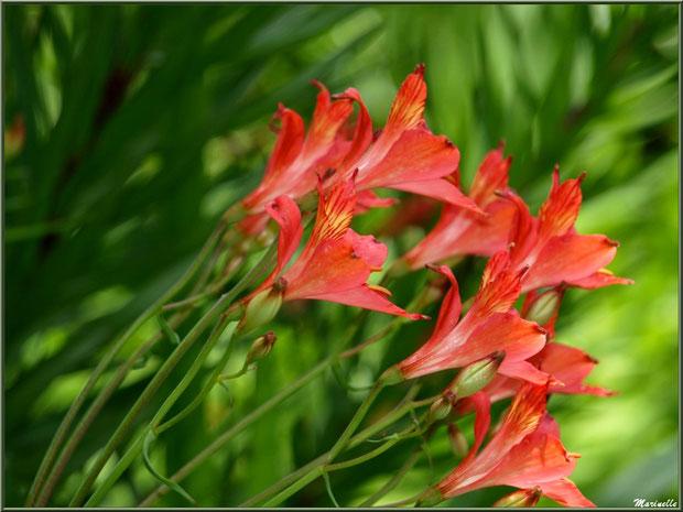Les Terrasses : Alstroemeria et ses fleurs- Les Jardins du Kerdalo à Trédarzec, Côtes d'Armor (22)