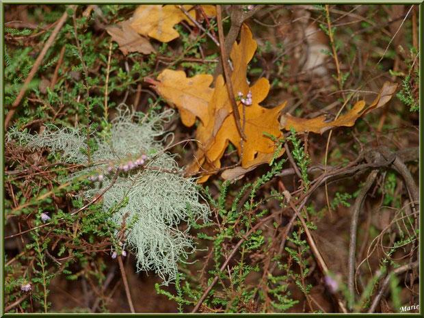 Mousse des Chênes ou Evernia Prunastri parmi bruyère et feuilles de chêne automnales en forêt sur le Bassin d'Arcachon