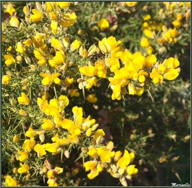 Ajonc en fleurs, Sentier du Littoral, secteur Domaine de Certes et Graveyron, Bassin d'Arcachon (33)