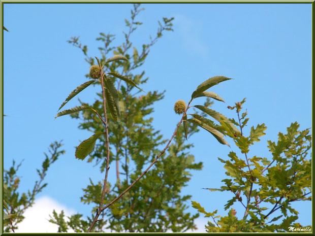 Châtaignier et ses bogues sur fond de chênes, forêt sur le Bassin d'Arcachon (33)