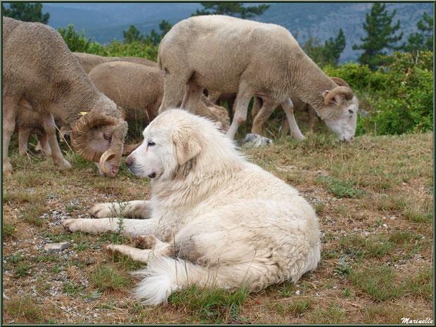 Chien de berger gardant son troupeau, sur la route menant aux hauteurs du Mont Ventoux (Haut Vaucluse)