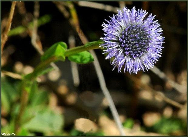 Globulaire Vulgaire ou Globulaire Commune ou Globulaire Ponctuée ou Boulette ou Marguerite Bleue, flore Bassin d'Arcachon (33)