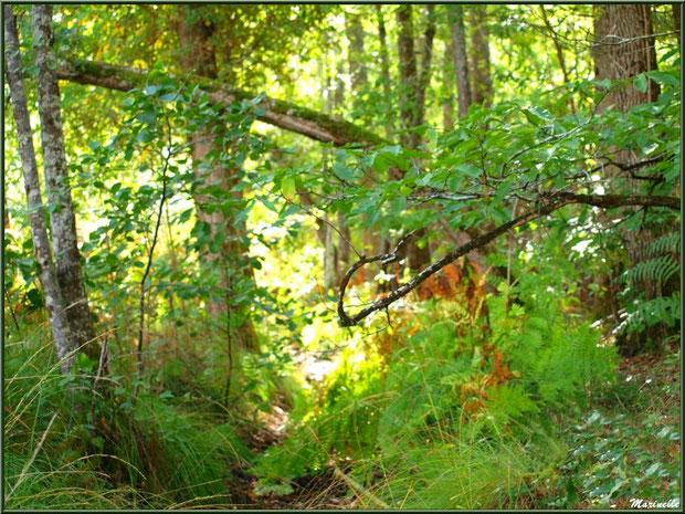 Méli mélo forestier : végétation diverse en sous bois, forêt sur le Bassin d'Arcachon (33)