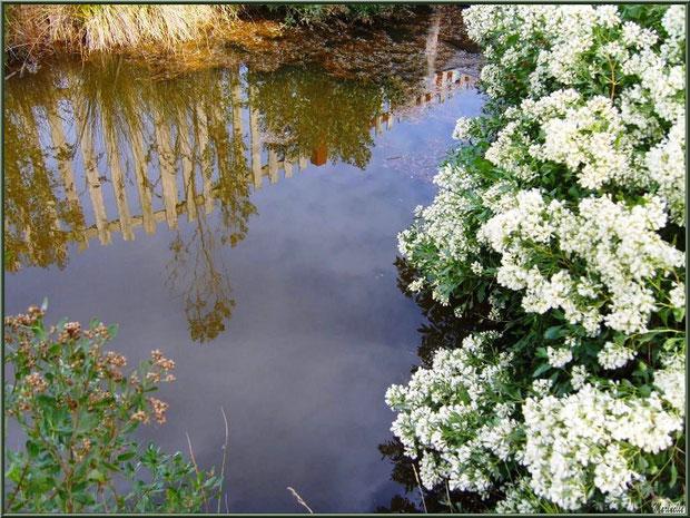 Cotonniers en fleurs et reflets sur un ruisseau, Sentier du Littoral secteur Pont Neuf, Le Teich, Bassin d'Arcachon (33)