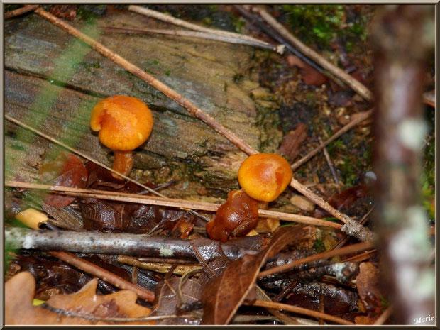 Petits Gymnopiles Remarquables ou Pholiotes Remarquables en forêt sur le Bassin d'Arcachon