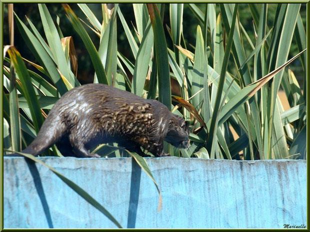 Loutre Cendrée, Zoo du Bassin d'Arcachon, La Teste de Buch (33)