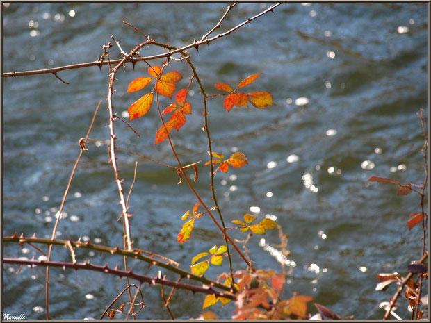 Roncier en bordure du Canal des Landes au Parc de la Chêneraie à Gujan-Mestras (Bassin d'Arcachon)