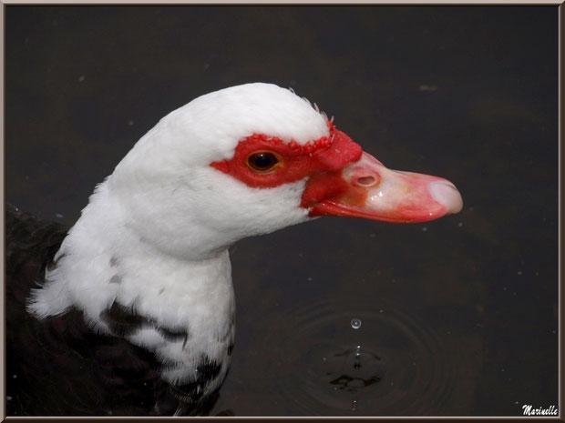 Portrait d'un Canard de Barbarie (dans le bassin à l'entrée du Parc de la Chêneraie à Gujan-Mestras - Bassin d'Arcachon)