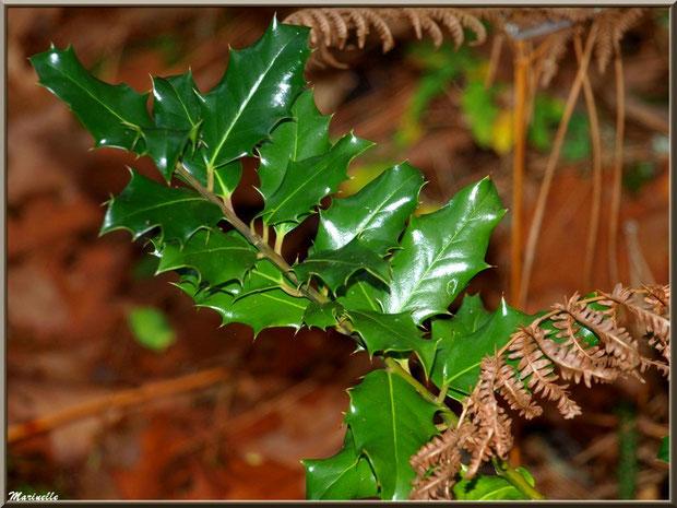 Branche de houx et fougères automnales, forêt sur le Bassin d'Arcachon (33)