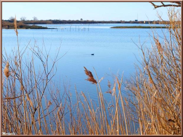 Roseaux en bordure d'un réservoir, une foulque au fil de l'eau et cygnes à l'horizon, Sentier du Littoral, secteur Port du Teich en longeant La Leyre, Le Teich, Bassin d'Arcachon (33)