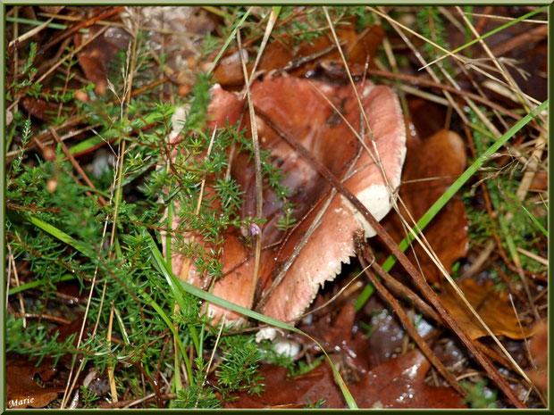 Russule en forêt sur le Bassin d'Arcachon