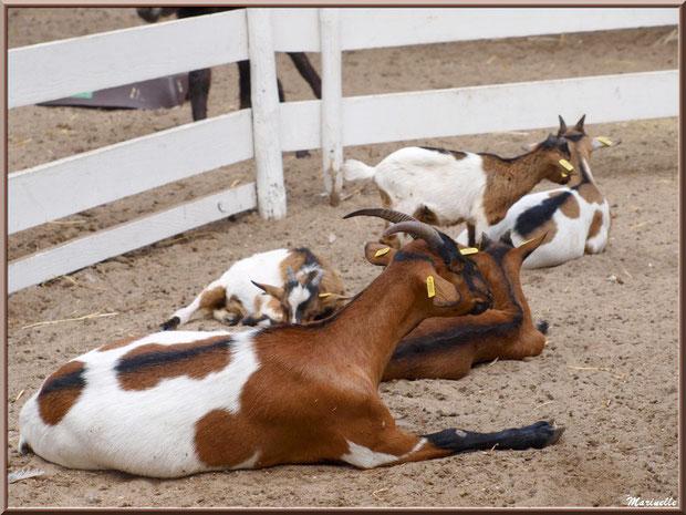 Chèvres naines, Parc de la Coccinelle, mini-ferme à Gujan-Mestras, Bassin d'Arcachon (33)