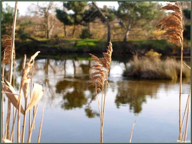Roseaux en bordure d'un réservoir, Sentier du Littoral, secteur Port du Teich en longeant La Leyre, Le Teich, Bassin d'Arcachon (33)