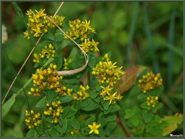 Millepertuis ou Hypericum ou Chasse Diable, flore sur le Bassin d'Arcachon (33)