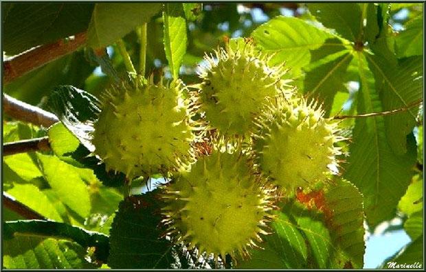 Entre été et automne, le Marronnier d'Inde ou Marronnier Commun fait découvrir ses bogues, flore Bassin d'Arcachon (33)