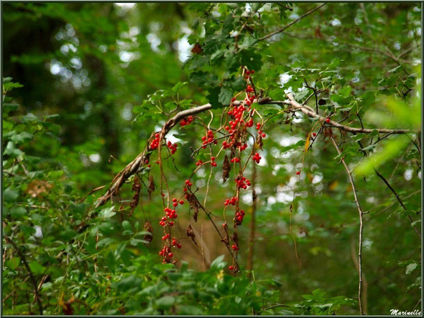 """Baies de tamier ou """"raspounchou"""" ou Herbe aux femmes battues enroulées sur une branche de chêne, flore sur le Bassin d'Arcachon (33)"""