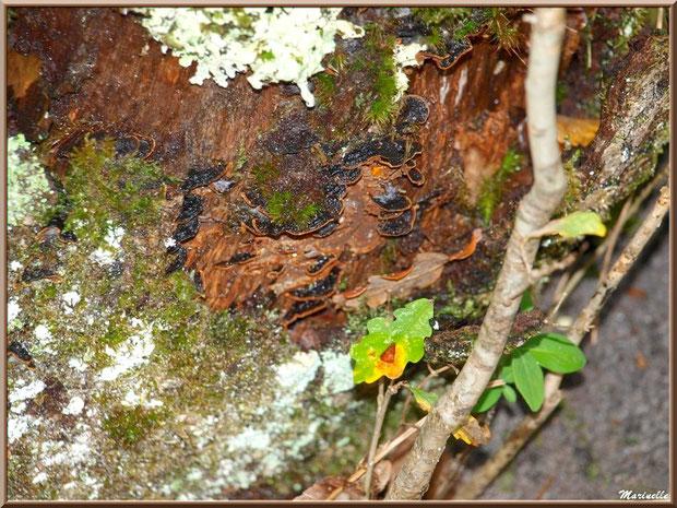 Méli mélo forestier automna l: différentes mousses et champignons sur tronc mort, arbrisseau et chêne, forêt sur le Bassin d'Arcachon (33)