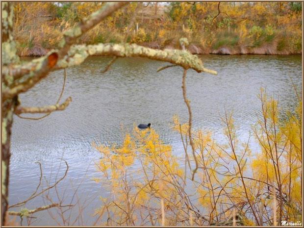 Tamaris et chêne mort, foulque au fil de l'eau, en hiver, en bordure d'un réservoir sur le Sentier du Littoral, secteur Moulin de Cantarrane, Bassin d'Arcachon
