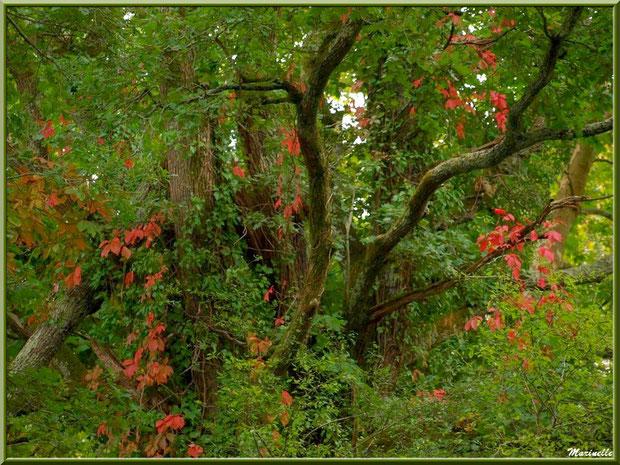 Vieux chêne et vigne vierge en guirlande en bordure du sentier, Sentier du Littoral au lieu-dit Lamothe, Le Teich, Bassin d'Arcachon (33)