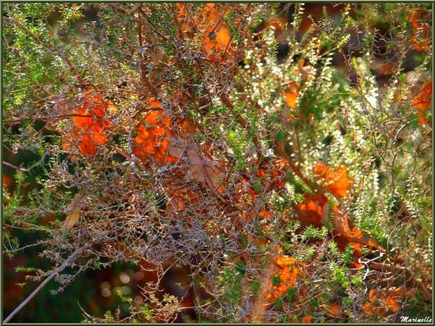 Méli mélo forestier : feuilles de chêne automnales épinglées dans la bruyère, forêt sur le Bassin d'Arcachon (33)