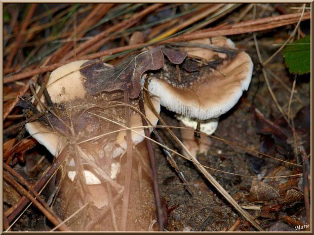 Amanites cachées en forêt sur le Bassin d'Arcachon