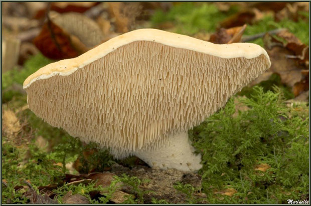 Pied-de-Mouton sur lit de mousse et feuilles de chêne en forêt sur le Bassin d'Arcachon