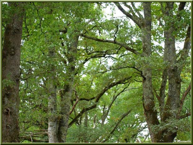 Chênes Pédonculés aux branches formant une voûte au-dessus d'un sentier forestier, flore Bassin d'Arcachon (33)