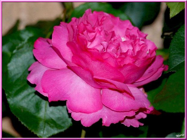 Rose rose à Saint Rémy de Provence, Alpilles (13)