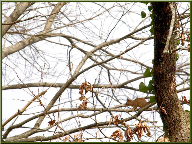 Ecureuil dans un chêne au Parc de la Chêneraie à Gujan-Mestras (Bassin d'Arcachon)