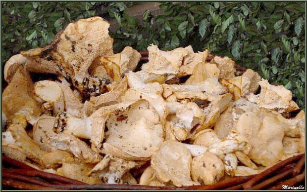 Une belle cueillette de Pieds-de-Mouton de la forêt du Bassin d'Arcachon
