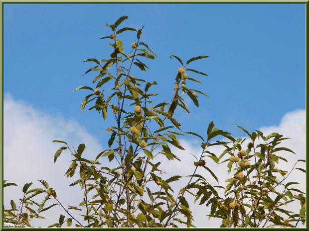 Châtaignier et ses bogues entre été et automne, flore Bassin d'Arcachon (33)