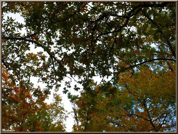 Chênes d'automne vus d'en dessous, forêt sur le Bassin d'Arcachon (33)
