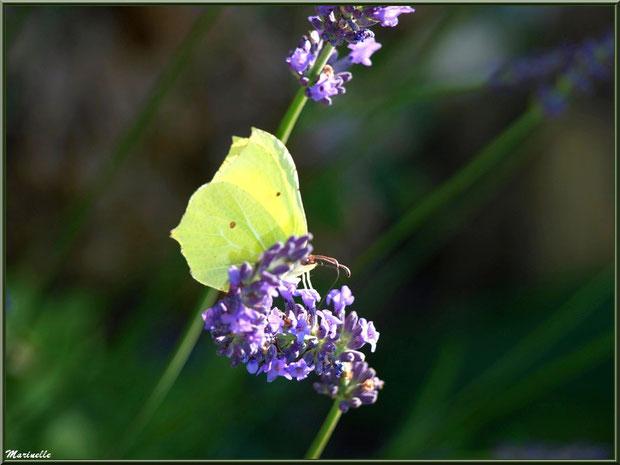 Papillon Citron sur fleur de Lavande