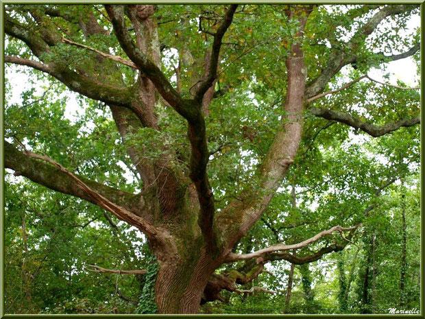 Très vieux Chêne Pédonculé, flore Bassin d'Arcachon (33)