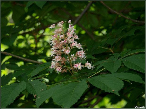 Marronnier d'Inde ou Marronnier Commun en fleurs, flore Bassin d'Arcachon (33)