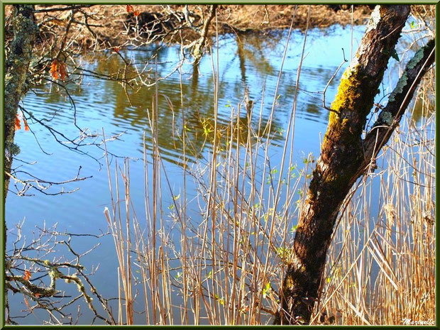 Chênes, roseaux et arbrisseaux en bordure d'un réservoir, Sentier du Littoral, secteur Port du Teich en longeant La Leyre, Le Teich, Bassin d'Arcachon (33)