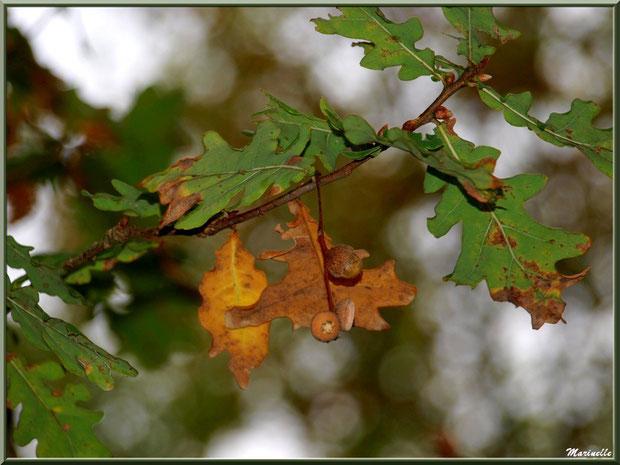Branche de chêne automnale et petits glands, forêt sur le Bassin d'Arcachon (33)