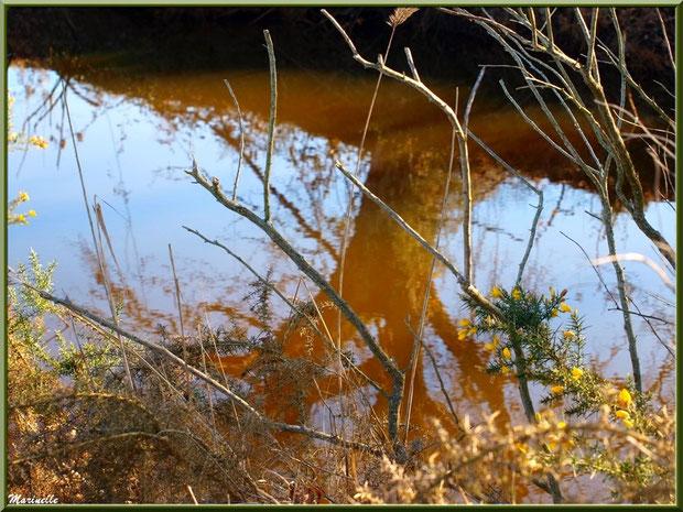 Ajonc en bordure d'un réservoir, Sentier du Littoral, secteur Port du Teich en longeant La Leyre, Le Teich, Bassin d'Arcachon (33)