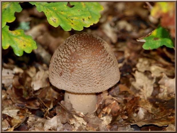 Jeune Amanite Rougissante ou Rougeâtre ou Vineuse ou Golmotte en forêt du Bassin d'Arcachon