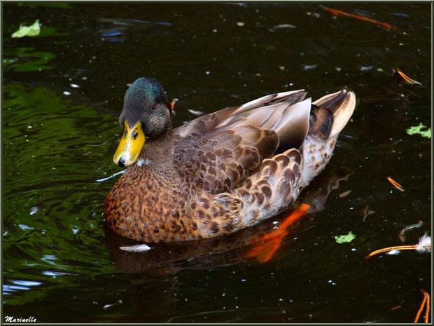 Canard dans sa mare, Parc de la Coccinelle, mini-ferme à Gujan-Mestras, Bassin d'Arcachon (33)