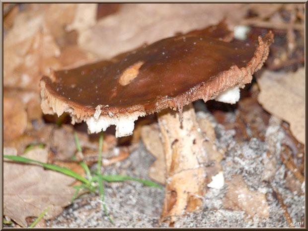 Vieux champignon épanoui en forêt sur le Bassin d'Arcachon