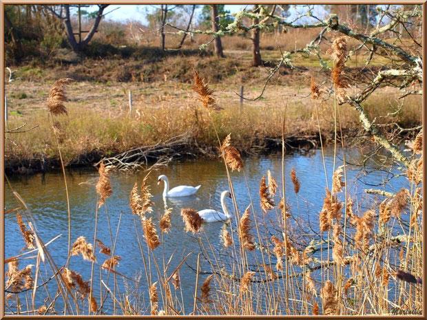 Couple de cygnes derrière les roseaux dans un réservoir, Sentier du Littoral, secteur Port du Teich en longeant La Leyre, Le Teich, Bassin d'Arcachon (33)