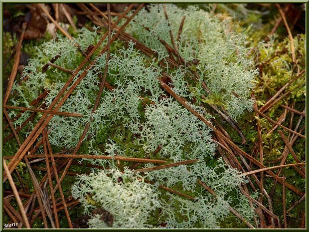 Cladonie parmi la mousse en forêt du Bassin d'Arcachon