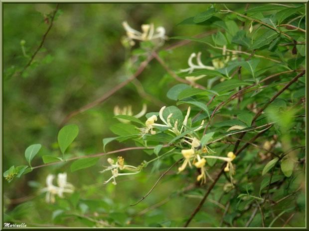 Chèvrefeuille en fleurs, flore Bassin d'Arcachon (33)