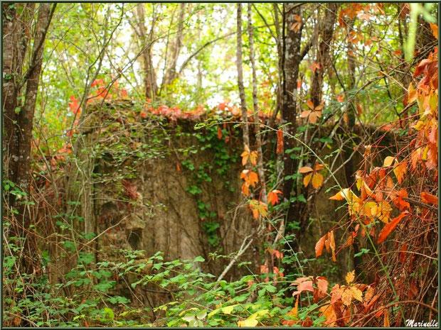 Ruines d'une ancienne ferme, au milieu des bois, envahies par la végétation automnale, forêt sur le Bassin d'Arcachon (33)